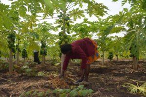 A female farmer in Homa Bay mulches pawpaw fruit trees.