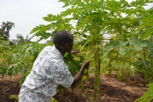 A farmer examines male pawpaw tree on his farm.